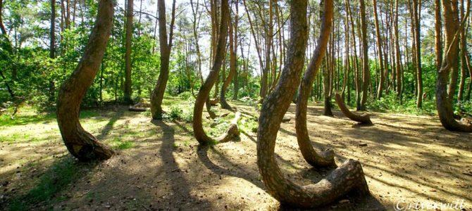 何これミステリー!曲がった木の森「クシュヴィ・ラス」  Gryfino, Poland