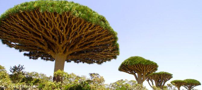 インド洋のガラパゴス!秘境ソコトラ島の旅~第3日目 龍血樹とボトルツリーの谷 前編 Socotora, Yemen