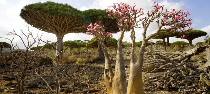 インド洋のガラパゴス!秘境ソコトラ島の旅~第3日目 龍血樹とボトルツリーの谷 後編 Socotora, Yemen