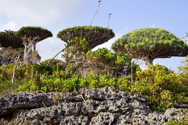 フィルミン・フォレスト Firhmin Dragon's Blood Tree Forest in Socotra island, Yemen